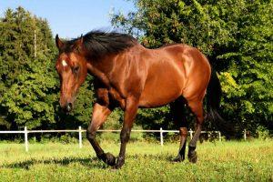 Kuda American Quarter Horse